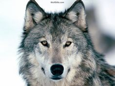 Discover your spirit animal: Learn more about wolf symbolism, the traits of the wolf totem, and what encounters and dreams mean for your life. Wolf Photos, Wolf Pictures, Animal Pictures, Wolf Images, Pictures Images, Free Pictures, Wolf Totem, Beautiful Creatures, Animals Beautiful