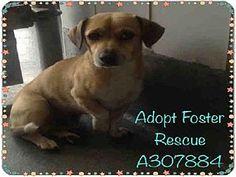 San Antonio, TX - Chihuahua Mix. Meet A307884, a dog for adoption. http://www.adoptapet.com/pet/11583041-san-antonio-texas-chihuahua-mix