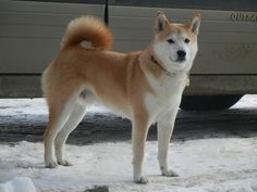 Shiba Inu - This lively and energetic dog, the smallest of Japan's native breeds, was once used for hunting small game in its homeland. A diminutive spitz breed, the Shiba is a dog of quicksilver agility and legendary cunning.