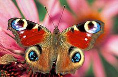 butterfly eyespots - Google Search