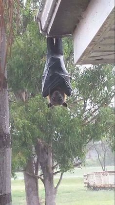 GOOD MORNING - (A living gargoyle???)  Meanwhile in Australia ... someone opened his door an posted this sight on facebook, a grey-headed flying fox. By Kristy Louise. via Frans de Waal - Public Page FB