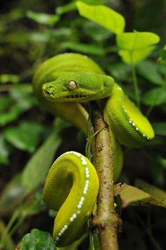 Green Tree Python (Morelia viridis) http://en.wikipedia.org/wiki/Morelia_viridis