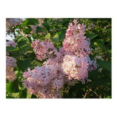 Lovely Lilac flowers Postcard