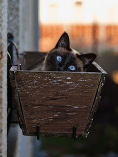 Our beloved Siamese cat, Biscuit, also has those bright blue, totally crossed eyes.  He's adorable...  ~~  Houston Foodlovers