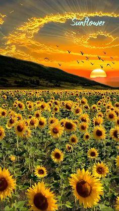 Sunflower,🌻🌻🌻 See it.👀 Shoot it.📸 Love it.🖤
