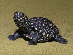 Spotted turtle with lots of spots.