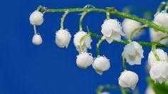 Tapety gałąź, grono, kwiat, biała lilia, łodygi, krople rosy, wiosna, świeżość