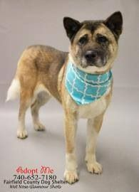"RESCUED by Big East Akita Rescue  #Founddog #ADOPTABLE #Lancaster #OH #Akita mix 5 yr ""Delilah"" FAIRFIELD COUNTY DOG SHELTER  740-652-7180 https://graph.facebook.com/FureverFriendsOfFCDS/photos/a.260887887359815.58961.260876467360957/600534816728452/?type=1"