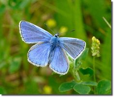 Common Blue by Nige's Place, via Flickr