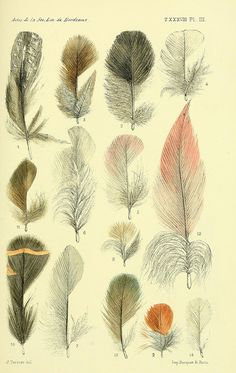 Biological illustration of feathers:Wildlife of Senegal and Gambia, Biodiversity Heritage Library [Faune de la Sénégambie /. Paris :O. Art And Illustration, Illustrations, Vintage Botanical Illustration, Feather Illustration, Feather Art, Bird Feathers, Nature Prints, Bird Prints, Botanical Drawings