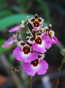 Oncidium Orchids | Oncidium Orchid Care Kerala, India.