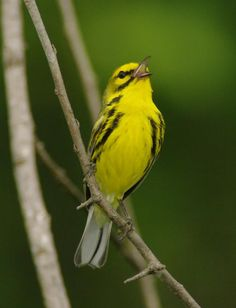 This Prairie Warbler, Photo: Mike Nelson, is just one of 30 + species of American Wood Warblers we have a chance to see on our Tennessee in Migration tour in May. East Tennessee is a major migratory route, with the Cumberland Plateau and Smoky Mountains creating a corridor through which both migratory and resident breeders funnel, we have good chance at some fantastic birds. http://www.birdingecotours.co.za/United%20States/tennessee.php