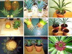 Вырастить ананас дома на подоконнике