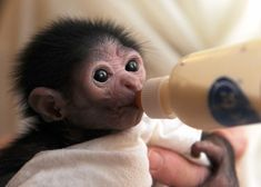 This new baby Gibbon is in good hands at the Jackson, Mississippi zoo!     (KO) And so cute!