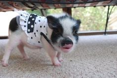 the pig has the same swim suit as me!