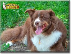 Read Teague's story the Aussie, Border Collie from Portland, Indiana and see his photos at Dog of the Day http://DogoftheDay.com/archive/2011/July/19.html .