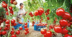Si quieres cultivar tomates en casa, bien sea en el huerto tradicional o urbano, no necesitarás más información. ¡Apuesta por el mejor sabor!
