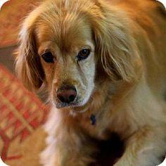 Los Angeles, CA - Golden Retriever/Cocker Spaniel Mix. Meet McShayne a Dog for Adoption.