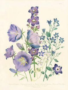 Loudon Botanical Prints 1843