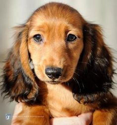 Miniature long haired dachshund, Male, 1-3 months, Shaded red, Lovely ...
