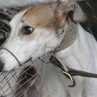 Ban the Export of Greyhounds from Australia to Racetracks Overseas | Every year hundreds of greyhounds are exported to racetracks in Macau & mainland China where they face mistreatment, abuse and certain death. Surely the financial interests of a few is less important than the welfare of hundreds dogs? Please stand up for these dogs by SIGNING and sharing petition. Thanks.