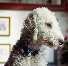 Bedlington Terrier Information and Pictures, Bedlington Terriers