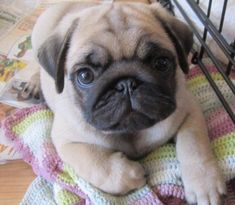 That face! Adorable... #pug