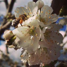 Almonds Flowers #Primaverapallarsjussà