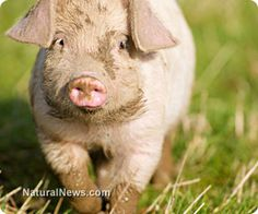 'Pot' pork: Pig farmers in legal marijuana states feeding leftover cannabis greens to animals... Marijuana helps pigs grow fatter naturally, without the need for hormones or antibiotics....