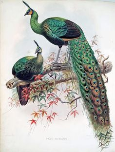 Green Peafowl (Pavo muticus) from A monograph of the Phasianidae, Family of the pheasants, by Daniel G. Elliot Dear Paxton, How are you on radar. This peafowl is hella boring. My birds are so much better. Peacock And Peahen, Peacock Feathers, Bird Illustration, Illustrations, Peacock Images, Peacock Artwork, Peacock Painting, Peafowl, Vintage Birds