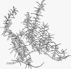 Rosemary line drawing for herb blanket