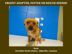 ***SUPER SUPER URGENT!!!*** - PLEASE SAVE REXIE!! - EU DATE: 3/26/2015 -- Rexie Breed:Chihuahua (mix breed) Age: Young adult Gender: Female Size: Small Location: Kaplan, LA  Read more at http://www.dogsindanger.com/dog/1426734751722#KbwSgXP1k8CEixqF.99 - If you have any questions please contact us at animalaidvermilion@gmail.com or (337) 366-0212 or visit our website animalaidvermilionarea.com for more information Read more at http://www.dogsindanger.com/dog/1426734751722#KbwSgXP1k8CEixqF.99