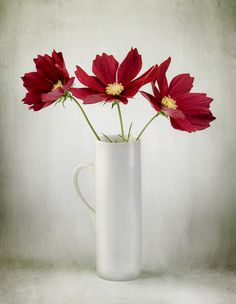 Ruby reds - Cosmos flowers