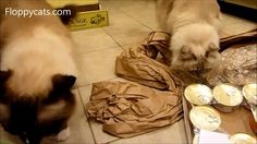 Ragdoll Cats Receive Fromm Chicken & Salmon Pate Canned Cat Food  - ねこ - ラグドール - Floppycats http://youtu.be/g1hPRF274Jc