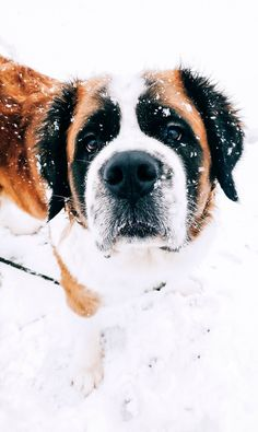St Bernards, Funny Puppies, Snow Dogs, Dog Pin, Dog Boarding, Dogs Of The World, Nova Scotia, Dog Lovers, Ios