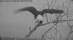 Delta 2 live eagle nest