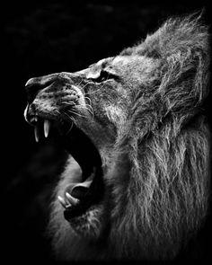 Lion Smile, photography by Laurent Baheux