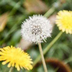 It's Time to Give Dandelions Some Love Endless Summer Hydrangea, Hydrangea Garden, Dandelion Flower, Weed Killer, Plant Needs, Trees And Shrubs, Outdoor Plants, Plant Care