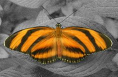 picture of Orange butterfly