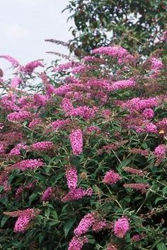 Butterfly bush next to the side garage door