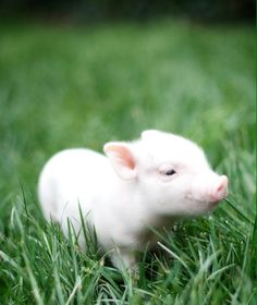 This will be the next member of the Bohall family! A teacup pot belly pig! Pet Pigs, Baby Pigs, Cute Baby Animals, Animals And Pets, Teacup Piglets, Pot Belly Pigs, Cute Piggies, Little Pigs, My Animal