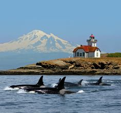 Orcas swim by, with Mt. Baker in the back and the Patos Lighthouse.