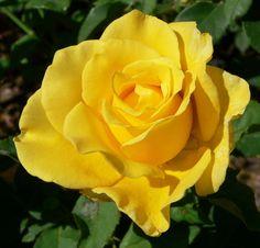 New Day ~ Hybrid Tea Rose