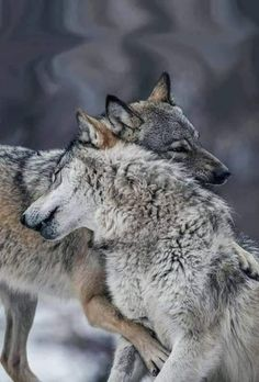 Loup 🐺🐺🐺, See the Best animal pictures from AnyCanal , These are the b. Animals And Pets, Baby Animals, Funny Animals, Cute Animals, Wild Animals, Wolf Spirit, Spirit Animal, Wolf Pictures, Animal Pictures