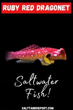 Saltwater Fish Tanks, Saltwater Aquarium, Aquarium Fish, Tropical Freshwater Fish, Salt Water Fish, Pet Fish, Ruby Red, Marine Life, Fresh Water
