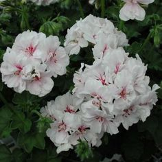 Pelargonium - Géranium Blanche Roche