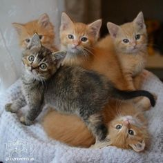 From @daisycatphotography: Were getting a mom cat and her kittens today so prepare yourself for cute baby kitten pictures. #fosterkittens #cutepetclub [source: http://ift.tt/2k4Vu2n ]