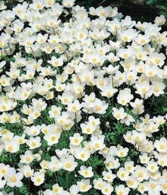 Anemone sylevestris 'Madonna' Snowdrop Anemone - Garden Seeds - Perennial Flower Seeds. Deer/rabbit resistant. Flowers late spring. Grow in shade.