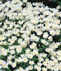 Anemone sylevestris 'Madonna' Snowdrop Anemone - Garden Seeds - Perennial Flower Seeds. Deer/rabbit resistant. Flowers late spring. Grow in shade.