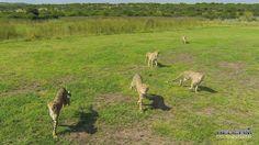 The Cheetah at Kwa Cheetah outside Ladysmith in South Africa Cheetah, Kangaroo, South Africa, The Outsiders, Fox, Animals, Animales, Animaux, Cheetahs